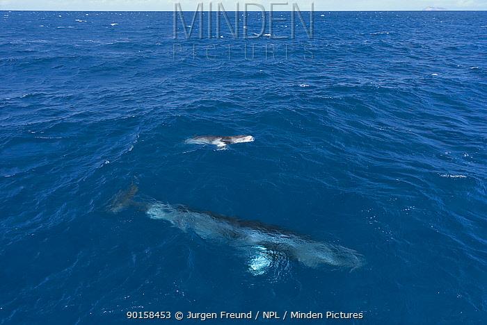 Dwarf minke whale (Balaenoptera acutorostrata) mother with calf, near surface, Queensland, Australia  -  Jurgen Freund/ npl
