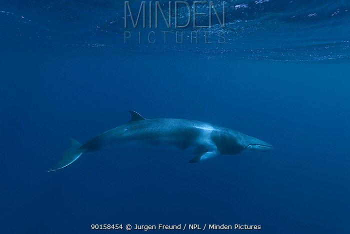 Dwarf minke whale (Balaenoptera acutorostrata) Queensland, Australia  -  Jurgen Freund/ npl