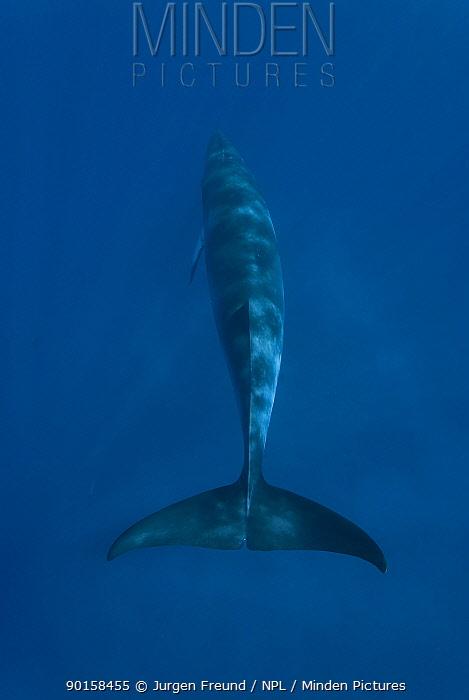 Dwarf minke whale (Balaenoptera acutorostrata) rear view, Queensland, Australia  -  Jurgen Freund/ npl