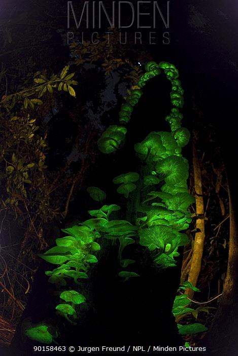Bioluminescent fungi (Pleurotus nidiformis) glowing on tree trunk in rainforest, Queensland, Australia  -  Jurgen Freund/ npl