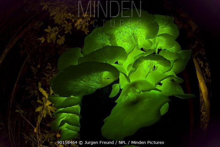 Bioluminescent fungi (Pleurotus nidiformis) glowing on tree trunk in rainforest at night, Queensland, Australia  -  Jurgen Freund/ npl