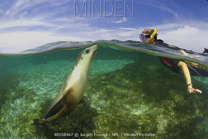 Australian sea lion (Neophoca cinerea) underwater with snorkler, Fisherman's Island, Batavia Coast, Western Australia  -  Jurgen Freund/ npl