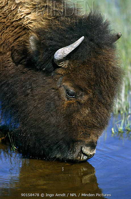 Bison (Bison bison) drinking, Yellowstone National Park, Wyoming, USA  -  Ingo Arndt/ npl