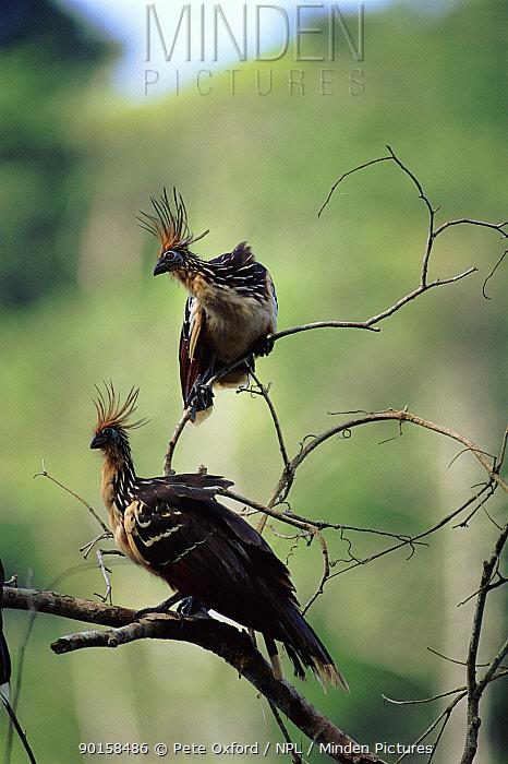 Hoatzin (Opisthocomus hoazin) Manu NP, Peru  -  Pete Oxford/ npl