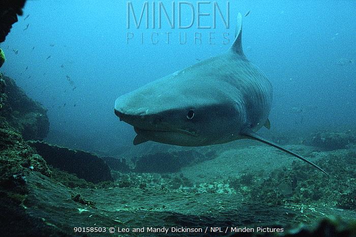 Tiger shark (Galeocerdo cuvieri) Indian Ocean off South Africa  -  Leo & Mandy Dickinson/ npl