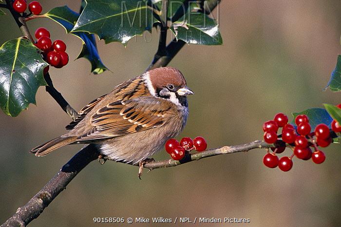 Tree sparrow in Holly bush (Passer montanus) Worcestershire, England, UK  -  Mike Wilkes/ npl
