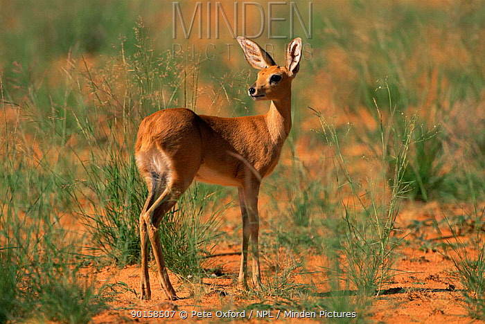 Young male Steenbok (Raphicerus campestris) Kgalagadi NP, South Africa  -  Pete Oxford/ npl