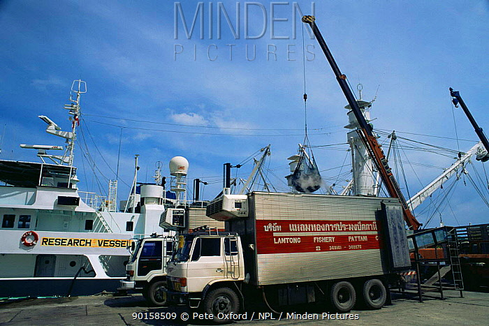 Unloading Tuna off Japanese fishing boats marked as 'Research vessel' Phuket, Thailand  -  Pete Oxford/ npl