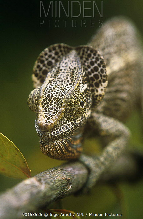 Shorthorn chameleon courtship display (Calumma brevicornis) Madagascar  -  Ingo Arndt/ npl