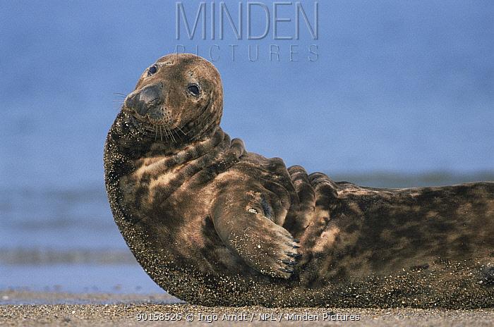 Grey seal on beach (Halichoerus grypus) Helgoland, Germany  -  Ingo Arndt/ npl