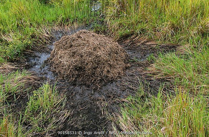 Broad nosed caiman nest (Caiman latirostris) Sante Fe, Argentina  -  Ingo Arndt/ npl
