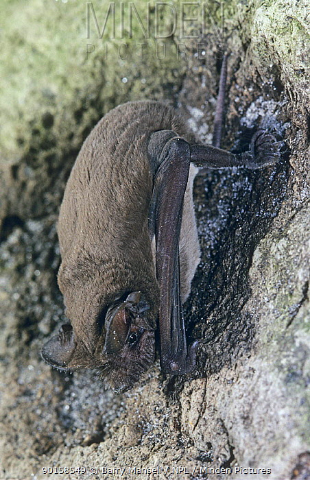 Brazilian free-tailed bat (Tadarida brasiliensis) roosting, West Florida, USA  -  Barry Mansell/ npl