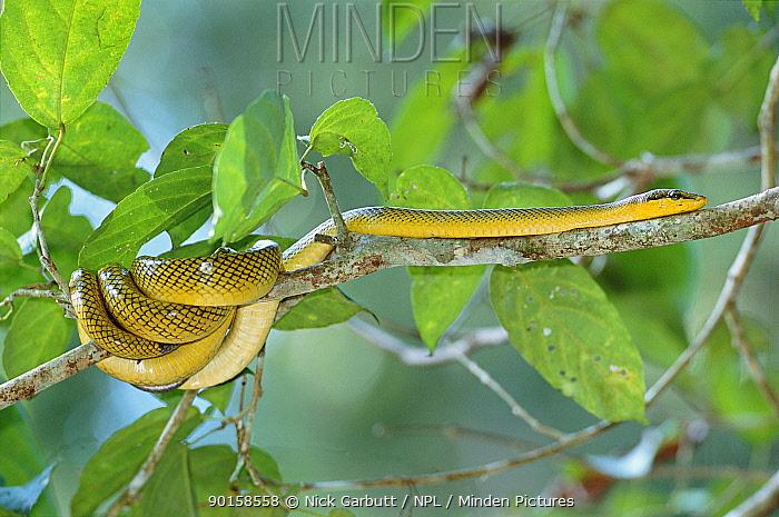 Red tailed rat snake (Gonyosoma oxycephalum) Sukau, Borneo  -  Nick Garbutt/ npl