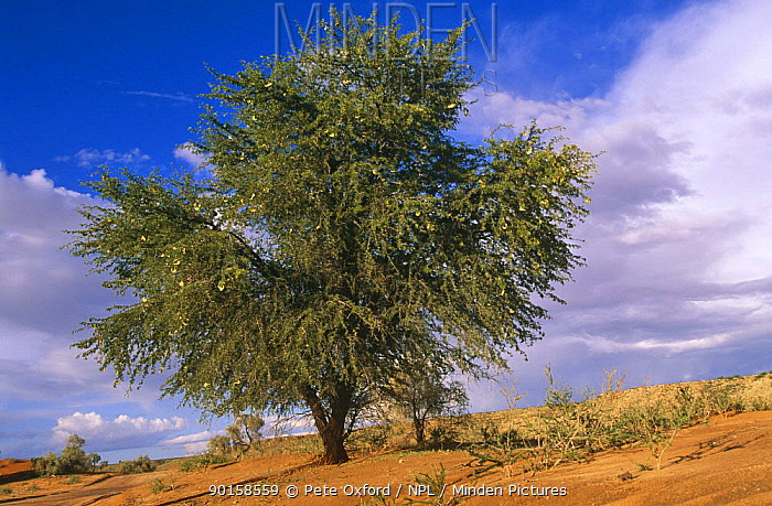 Camelthorn tree on dune (Acacia erioloba) Kalahari Kgalagadi TP, South Africa  -  Pete Oxford/ npl