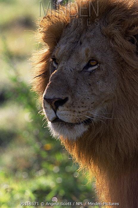 Backlit Marsh pride male Lion head portrait (Panthera leo) Masai Mara NR, Kenya  -  Angela Scott/ npl