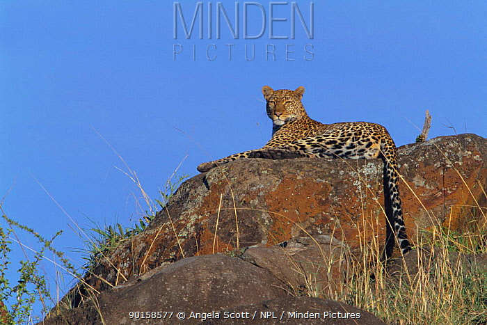 Zawadi' leopard on watch up on rocks (Panthera pardus) Masai Mara NR, Kenya, East Africa BIG CAT DIARY  -  Angela Scott/ npl