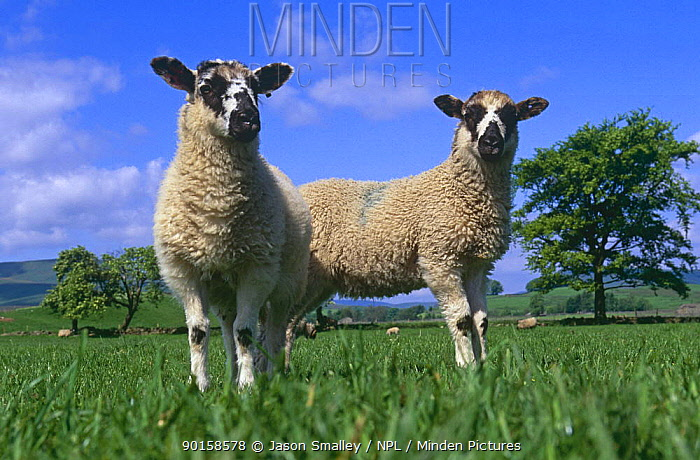 Two lambs in field (Ovis aries) Yorkshire, UK  -  Jason Smalley/ npl