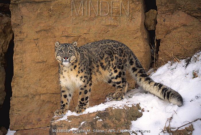 Snow leopard on snow covered rockface (Panthera uncia) captive  -  Lynn M. Stone/ npl