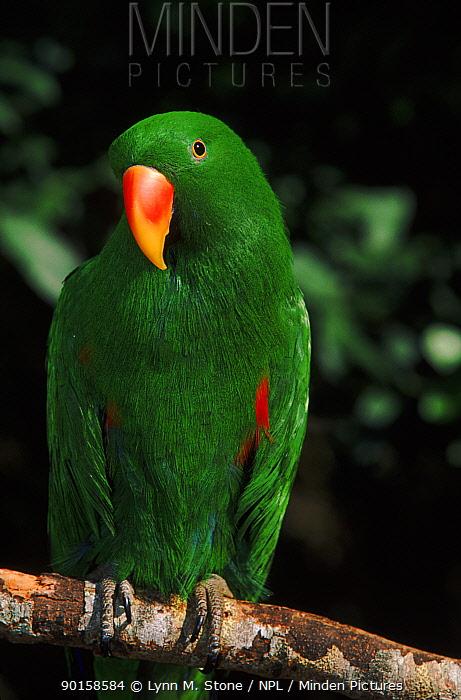 Male Eclectus parrot  -  Lynn M. Stone/ npl