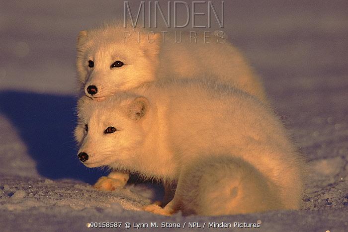 Arctic foxes (Vulpes lagopus) Captive  -  Lynn M. Stone/ npl