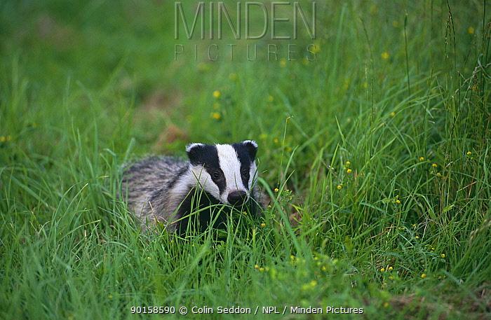 Badger cub (four months old) (Meles meles) in tall grass, UK  -  Colin Seddon/ npl