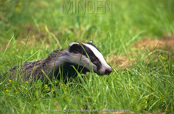 Badger cub (four months old) (Meles meles) UK  -  Colin Seddon/ npl