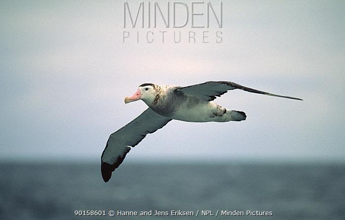 New Zealand albatross (Diomedea antipodensis) in flight, Golfo de Penas, Chile  -  Hanne & Jens Eriksen/ npl