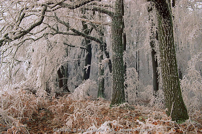 Hoar frost on trees and undergrowth Oak and beech forest Bavaria, Germany  -  Martin Gabriel/ npl