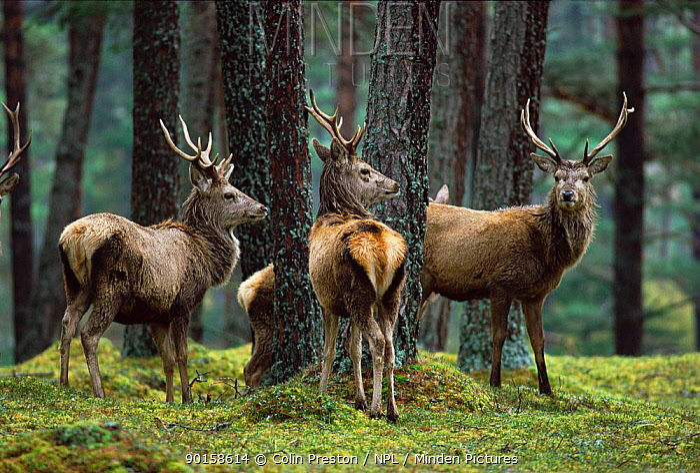 Red deer stags in woodland (Cercus elaphus)  -  Colin Preston/ npl