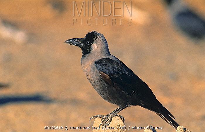 House crow (Corvus splendens) Sohar, Oman  -  Hanne & Jens Eriksen/ npl