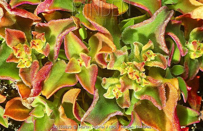 Ice plant (Mesembryanthemum cristalinum) Canary Islands  -  Martin Gabriel/ npl