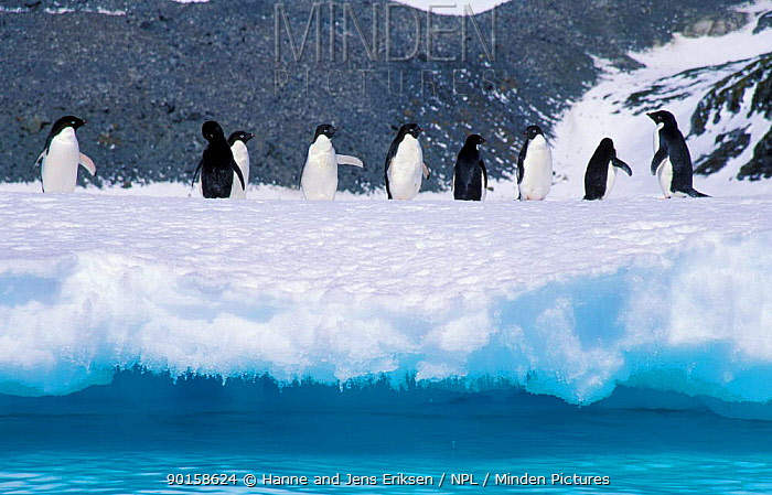 Adelie penguins on snow and ice above sea (Pygoscelis adeliae), South Orkney Is, Antarctica  -  Hanne & Jens Eriksen/ npl