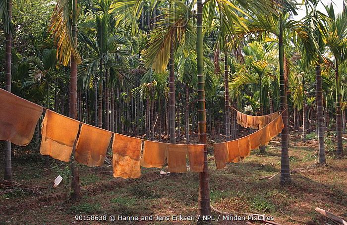 Drying latex from rubber plantation, Nilambur, Kerala, Southern India  -  Hanne & Jens Eriksen/ npl