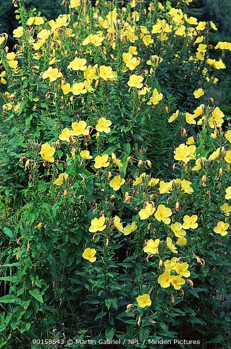 Common evening primrose (Oenothera biennis) Germany Sequence 2, 2 flowers open  -  Martin Gabriel/ npl