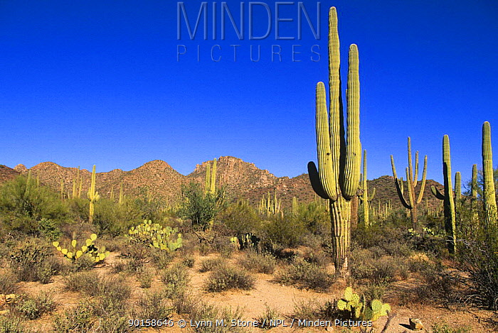 Saguaro cactus (Carnegiea gigantea) Saguaro NP, Arizona, USA  -  Lynn M. Stone/ npl