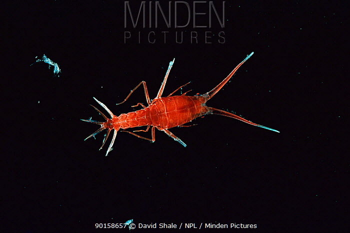 Deepsea amphipod (Scypholanceola sp) Gulf of Mexico  -  David Shale/ npl