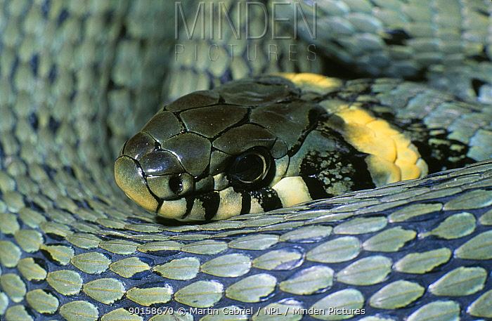 Grass snake close-up, Kelheim, Bavaria, Germany  -  Martin Gabriel/ npl