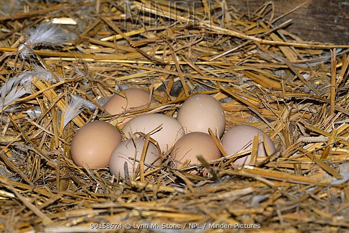 Domestic chicken nest with eggs (Gallus gallus domesticus) White java breed, USA  -  Lynn M. Stone/ npl