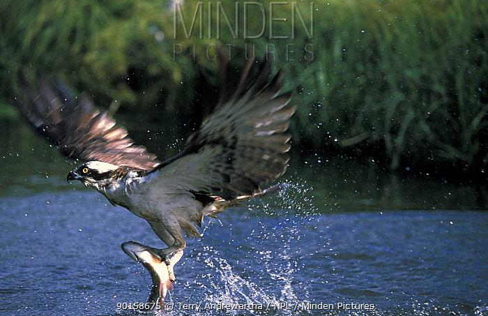 Osprey catching fish (Pandion haliaetus) UK  -  Terry Andrewartha/ npl