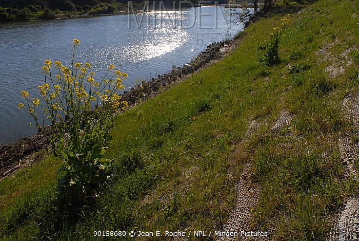 Restoration, stabilisation of riverbank using plant material, vegetation and netting, Vidourle, Provence, France  -  Jean E. Roche/ npl
