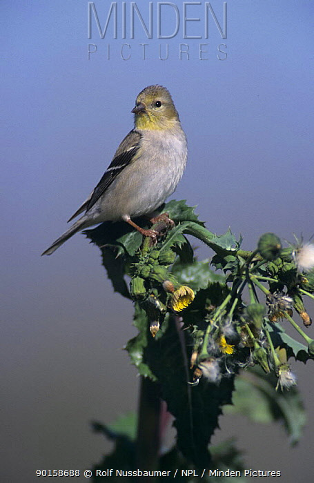 American Goldfinch (Carduelis tristis) with winter plumage on thistle, Lake Corpus Christi, Texas, USA March 2003  -  Rolf Nussbaumer/ npl