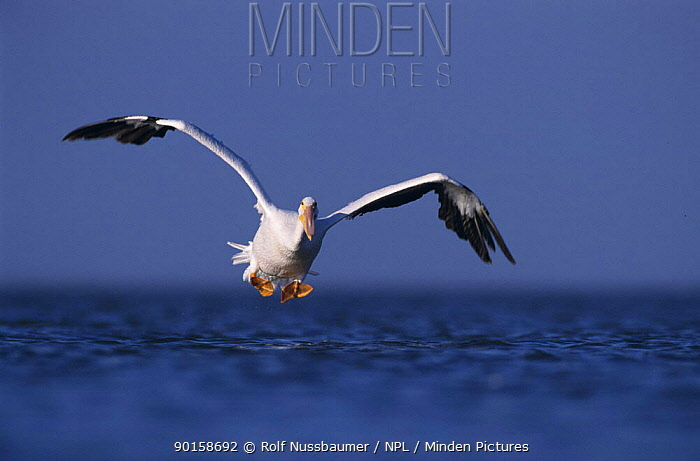 American White Pelican (Pelecanus erythrorhynchos) about to land on the sea, Rockport, Texas, USA December 2003  -  Rolf Nussbaumer/ npl