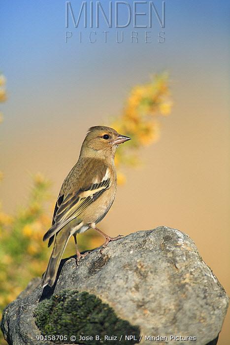 Female Chaffinch (Fringilla coelebs) Spain  -  Jose B. Ruiz/ npl