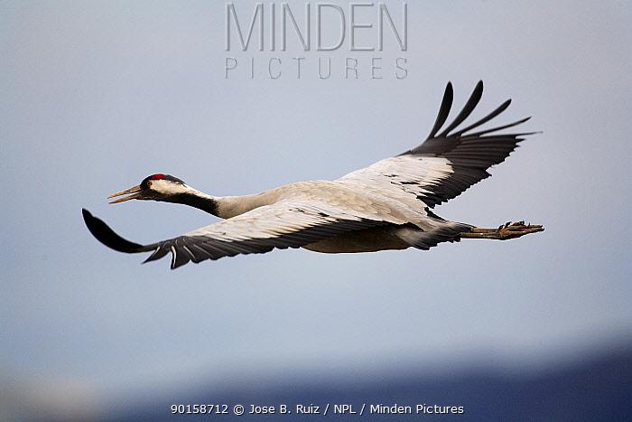 Common crane (Grus grus) in flight, Laguna de Gallocanta, Teruel, Arag?n, Spain  -  Jose B. Ruiz/ npl
