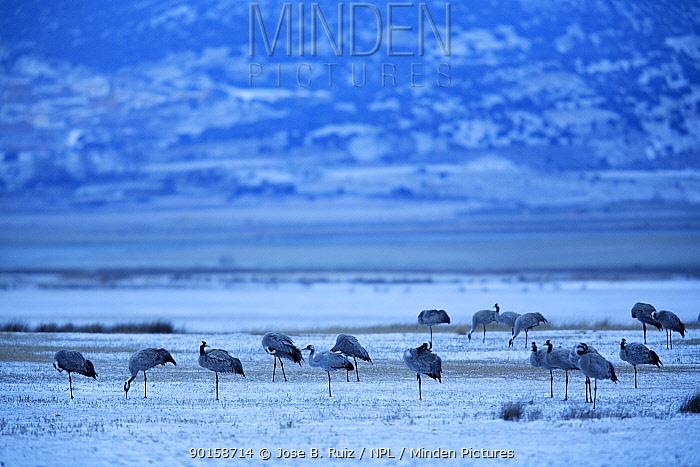 Common cranes (Grus grus) in snowy landscape, Laguna de Gallocanta, Teruel, Arag?n, Spain  -  Jose B. Ruiz/ npl