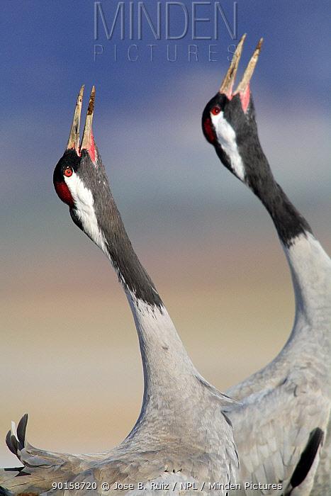 Common cranes (Grus grus) calling, Laguna de Gallocanta, Teruel, Arag?n, Spain  -  Jose B. Ruiz/ npl