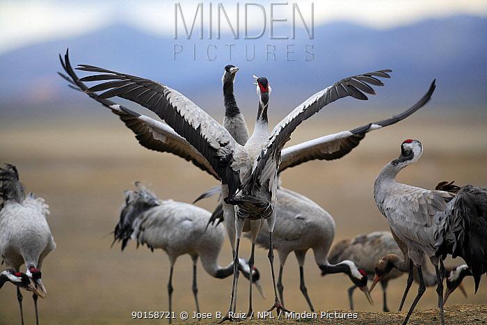 Common cranes (Grus grus) flapping wings in display, Laguna de Gallocanta, Teruel, Arag?n, Spain  -  Jose B. Ruiz/ npl