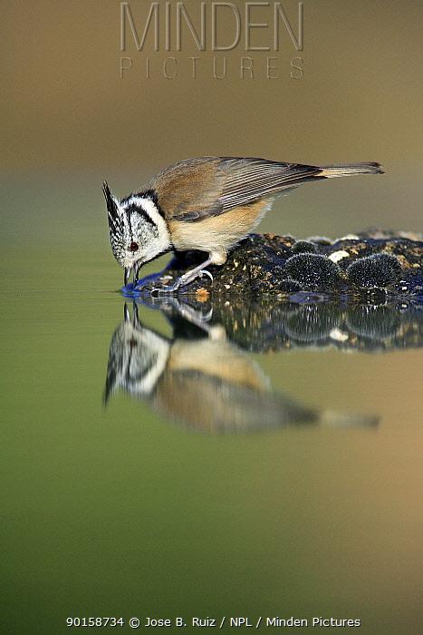 Crested tit (Parus cristatus) drinking, Spain  -  Jose B. Ruiz/ npl
