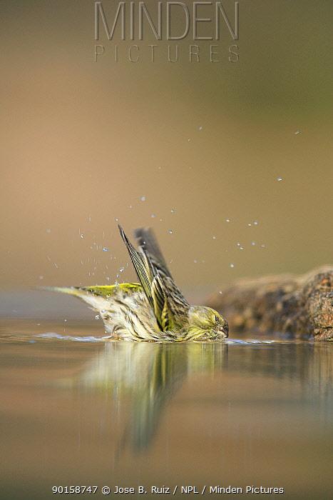 Male Serin (Serinus serinus) bathing in water, Spain  -  Jose B. Ruiz/ npl