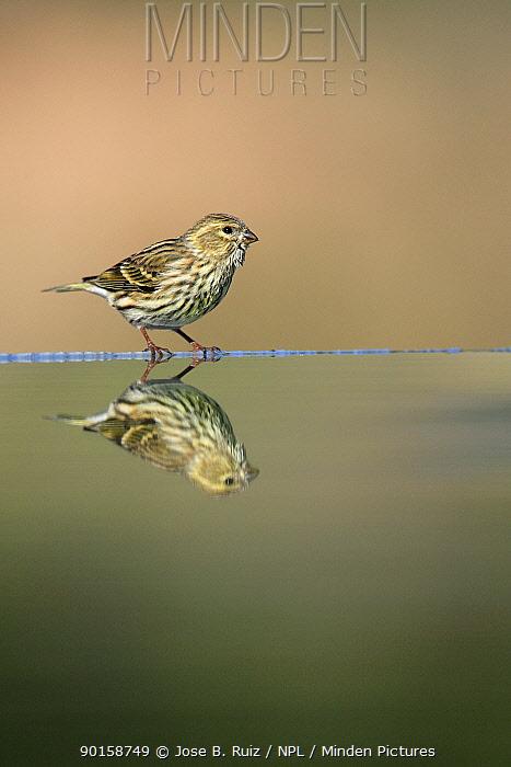 Female Serin (Serinus serinus) at water edge with reflection, Spain  -  Jose B. Ruiz/ npl